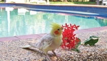 cockatiel_flower_F